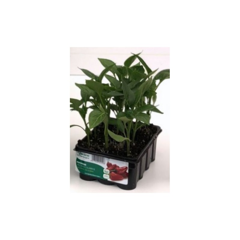 CALABRIAN SPICY PEPPER TRAY OF 12 PLANTS