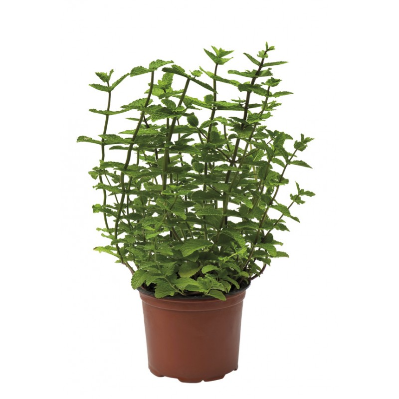 AROMATIC MINT PLANT IN A DIAM. 11